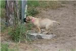Picture of Fawn AKC registered female bullmastiff
