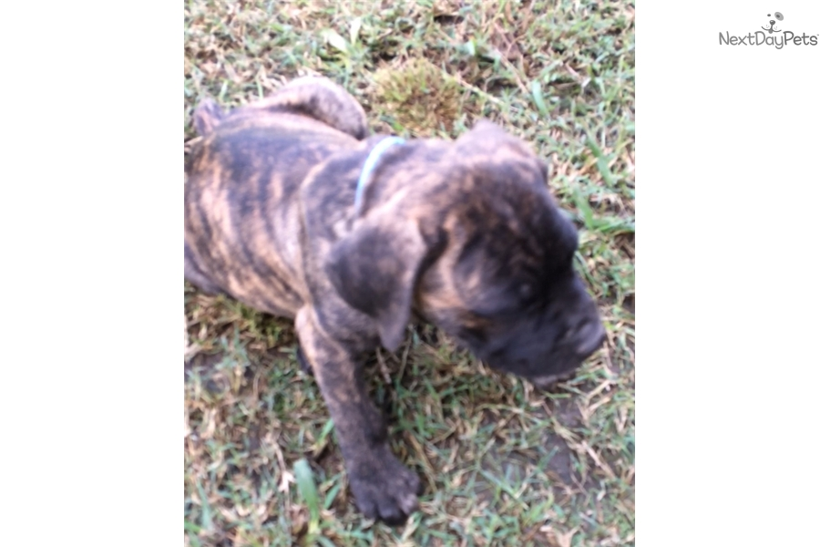 Cane Corso Mastiff Puppy For Sale Near Dallas Fort Worth Texas