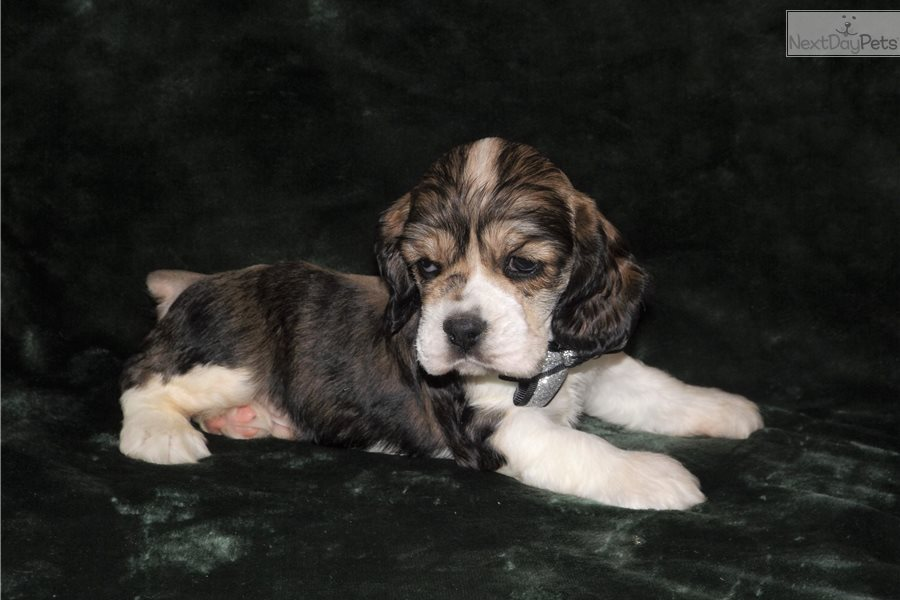 cocker spaniel puppies for sale in texas bojangles cocker spaniel puppy for sale near tyler east 5149