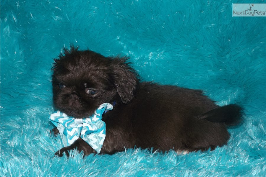 Jelly Bean: Pekingese puppy for sale near me in Ohio USA