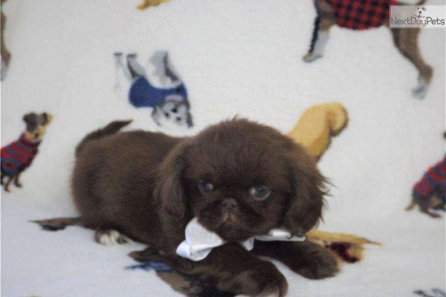 Jelly Bean: Pekingese puppy for sale near Tyler / East TX