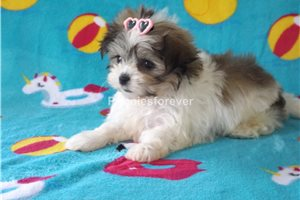 Buttercup | Puppy at 7 weeks of age for sale