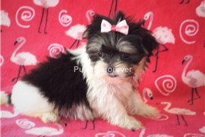 Chole | Puppy at 7 weeks of age for sale
