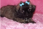 Picture of Pekingese Toy Registered female