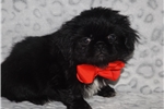 Picture of Pekingese toy male