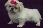 Picture of Pekingese toy female