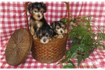 Picture of Yorkie schnauzer puppies