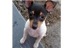 Picture of Awesome, Loving, Intelligent, Toy FoxTerrier