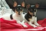 Picture of Toy Fox Terrier Dual Registered Champion Sired