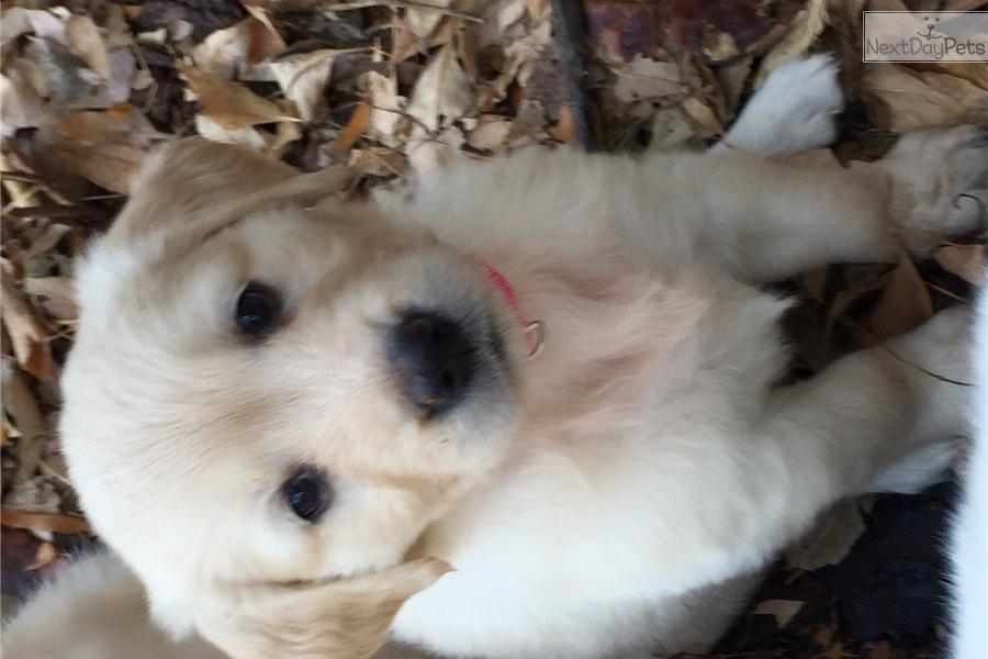 Golden Retriever Puppy For Sale Near Denver Colorado Ce5098ba E791