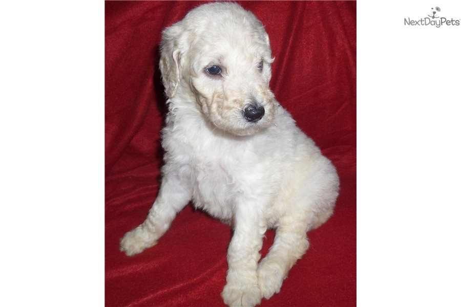 Jingle Bella Aussiedoodle Puppy For Sale Near Birmingham Alabama
