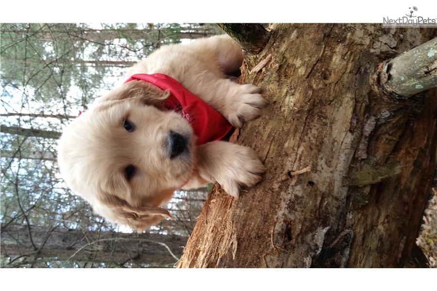 Charlie Golden Retriever Puppy For Sale Near St Cloud Minnesota