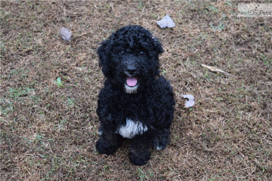 Sherman Goldendoodle Puppy For Sale Near Athens Georgia