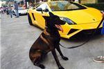 Picture of Beautiful Dark Male AKC Belgian Malinois Puppy