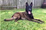 Picture of AKC Belgian Malinois Puppy