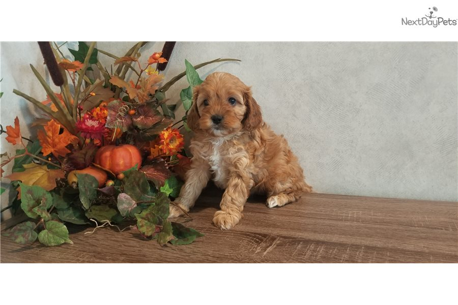 Accolades and breeding experience for your Goldendoodle breeder