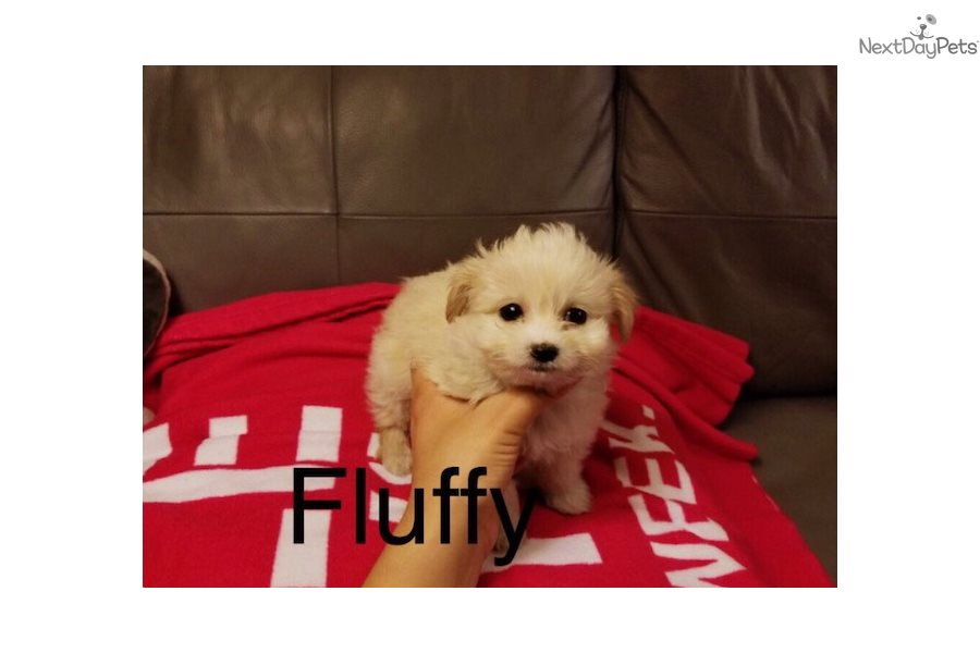 maltese haircuts styles pictures fluffy malti poo maltipoo puppy for los 1195