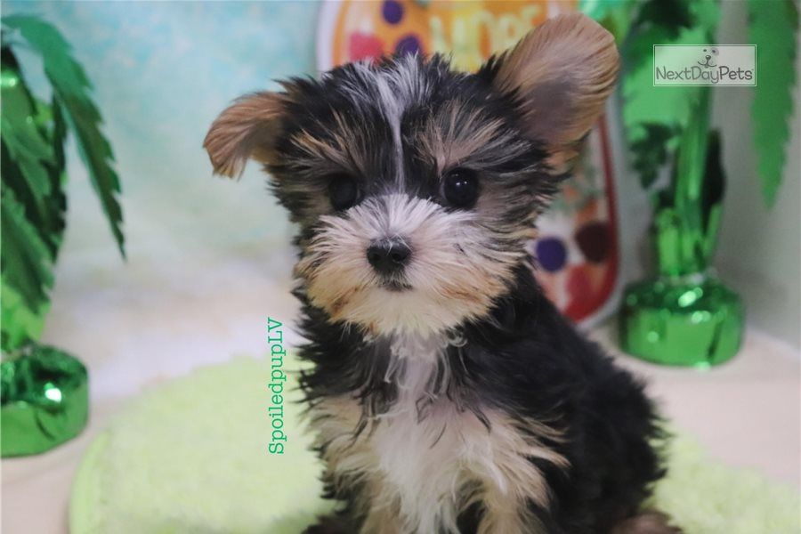 Cosmo: Morkie / Yorktese puppy for sale near Las Vegas Nevada USA