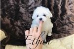 Picture of Maltese - Ethan - Male
