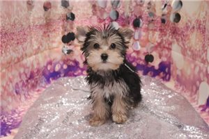 Picture of Morkie - Bagel -