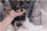 Picture of Morkie - West - Male