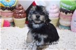 Picture of Morkie - Waffle - Male