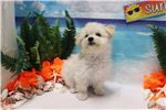 Picture of Pomapoo - Lucky - Male