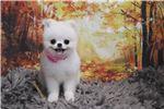 Picture of Pomeranian - Precious - Female