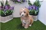 Picture of Toy Poodle - Pika - Female