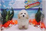 Picture of Toy Poodle - Daisy - Female