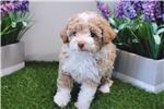 Picture of Toy Poodle - Katchu - Male