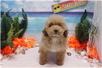 Picture of Toy Poodle - Rosie - Female