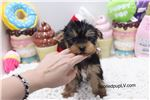 Picture of Yorkshire Terrier - Burton - Male