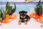 Picture of Yorkshire Terrier - Miley - Female