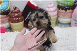 Picture of Yorkshire Terrier - Basil - Male