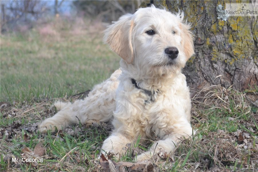 Mr Coconut Goldendoodle Puppy For Sale Near Springfield