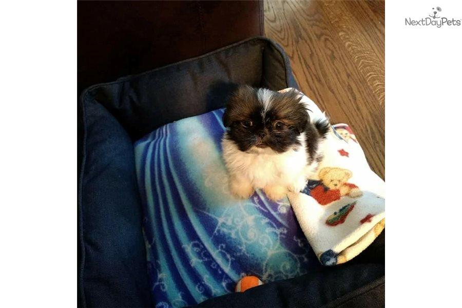 Benny: Pekingese puppy for sale near me in Kansas USA