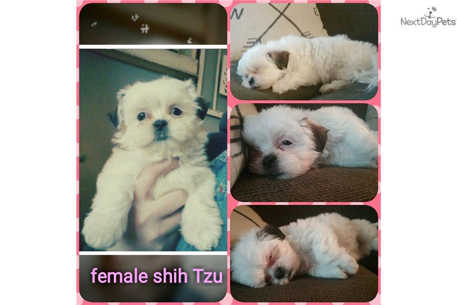 Lulu Shih Tzu Puppy For Sale Near Kansas City Missouri 11f77bb7 18e1