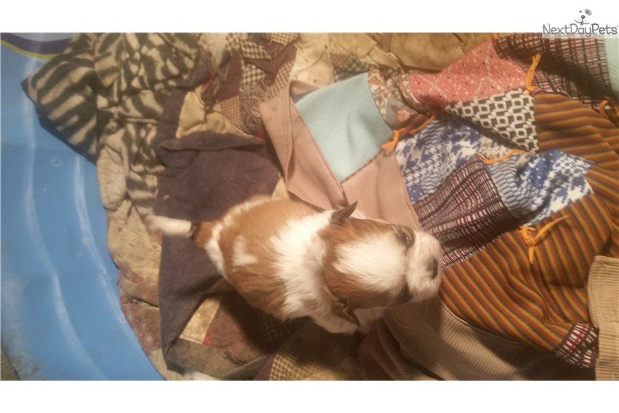 Rocky Shih Tzu Puppy For Sale Near Kansas City Missouri 3aa8e96b