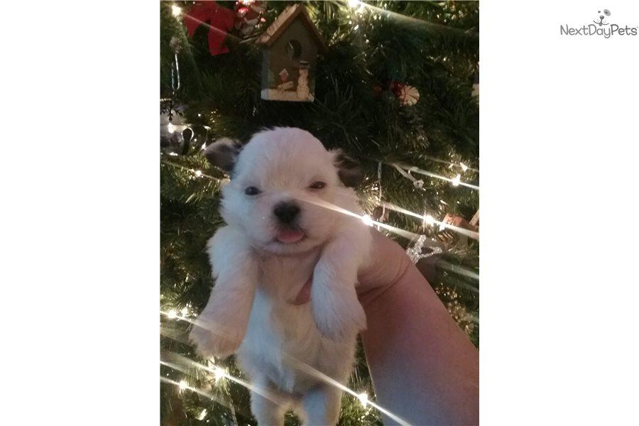 Gabby Shih Tzu Puppy For Sale Near Kansas City Missouri Bad97c64