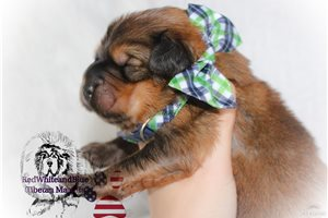 Mowgli | Puppy at 2 weeks of age for sale