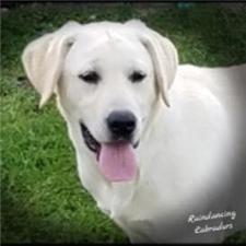 View full profile for Rain Dancing Labradors