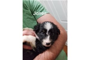 Jones | Puppy at 18 weeks of age for sale