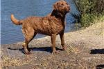 Picture of Chesapeake Bay Retriever puppy - Shaw