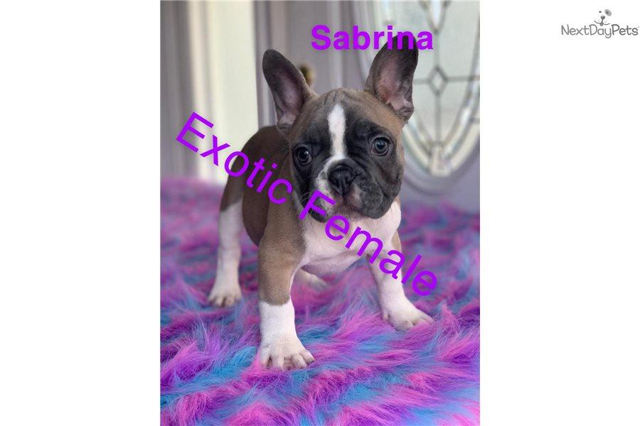 Sabrina Sable French Bulldog Puppy For Sale Near Central Nj New