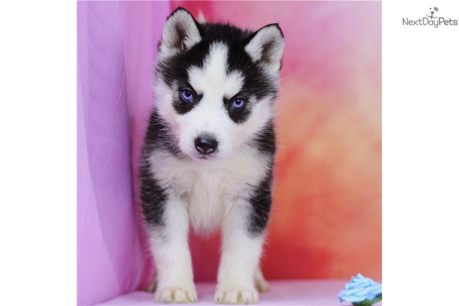 Blanche Fr Siliverse Pomsky Puppy For Sale Near Orange County