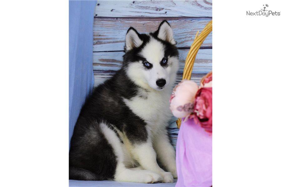 Pomsky Puppy For Sale Near Orange County California 465cdb6d D3d1