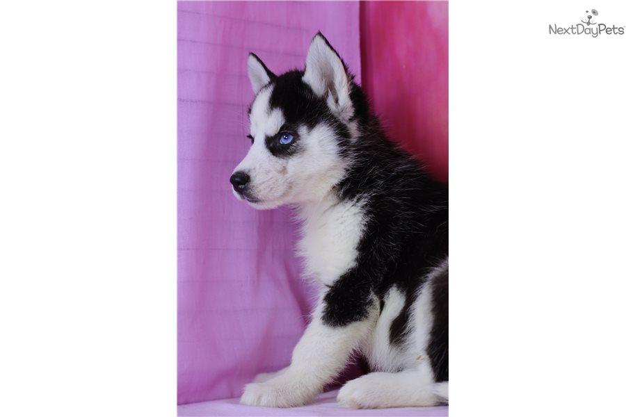 Bounty Fr Siliverse Pomsky Puppy For Sale Near Orange County