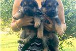 Picture of German Shepherd Puppies ??
