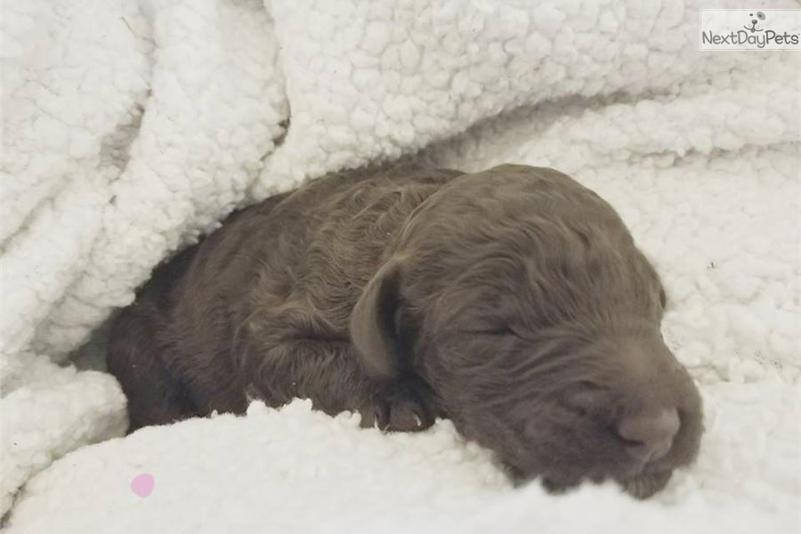 Little Girl Pink Poodle Standard Puppy For Sale Near